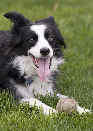 A Border Collie resting during a game of fetch.