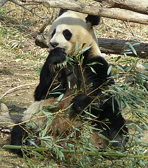 The Giant Panda, Ailuropoda melanoleuca, is th...
