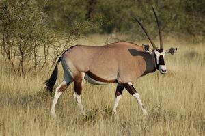 Gemsbok horns