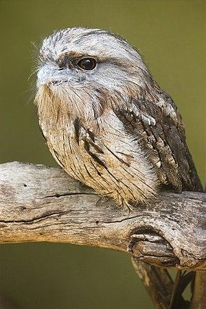 Tawny Frogmouth (Podargus strigoides), Bonoron...