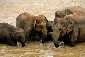Elephants in Sri Lanka, so presumably Sri Lank...