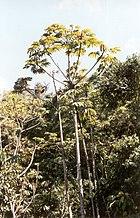 Yagrumo, árbol nativo en los alrededores de la Colonia Tovar en el Estado Aragua.