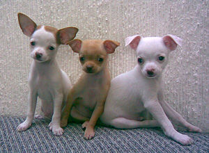 English: Chihuahua puppies