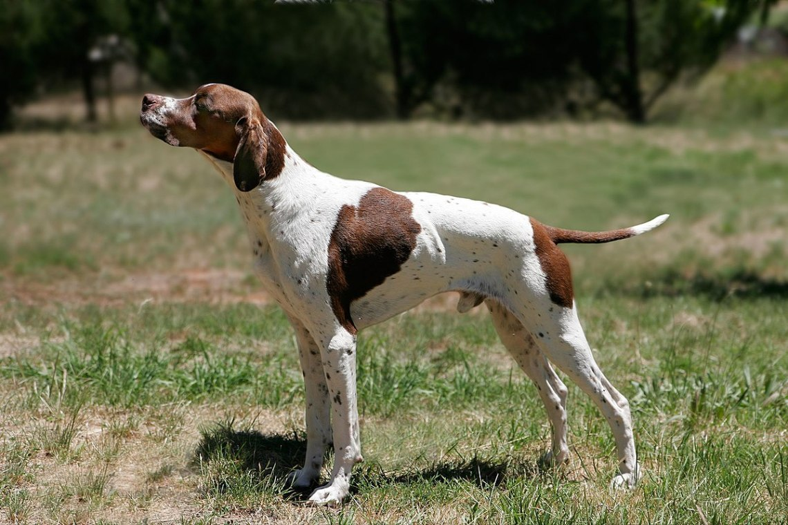 1200px English pointer Pitbull Dog Puppies For Sale