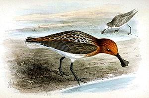 Spoon-billed Sandpiper, Eurynorhynchus pygmeus...