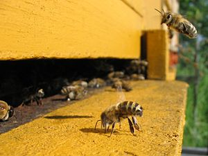 A honeybee on an apiary, cooling by flapping i...