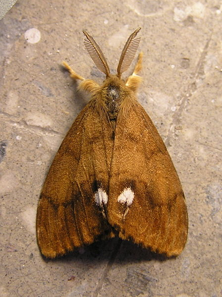 File:Orgyia anttiqua 6 beentree.jpg
