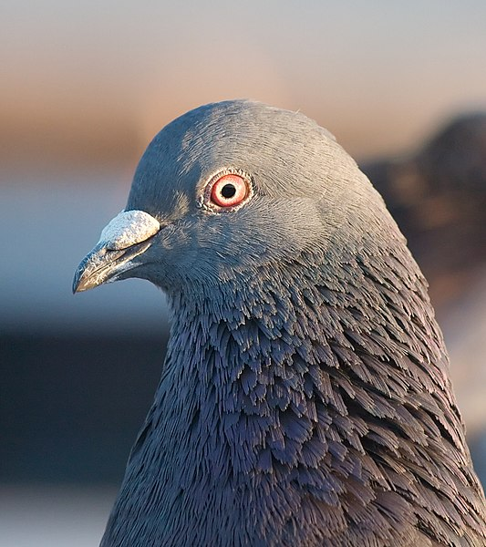 File:Pigeon portrait 4861.jpg