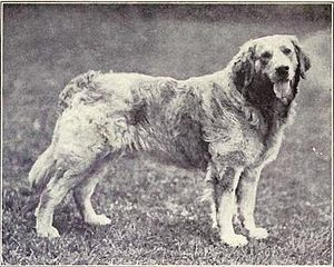 Russian Yellow Retriever from 1915