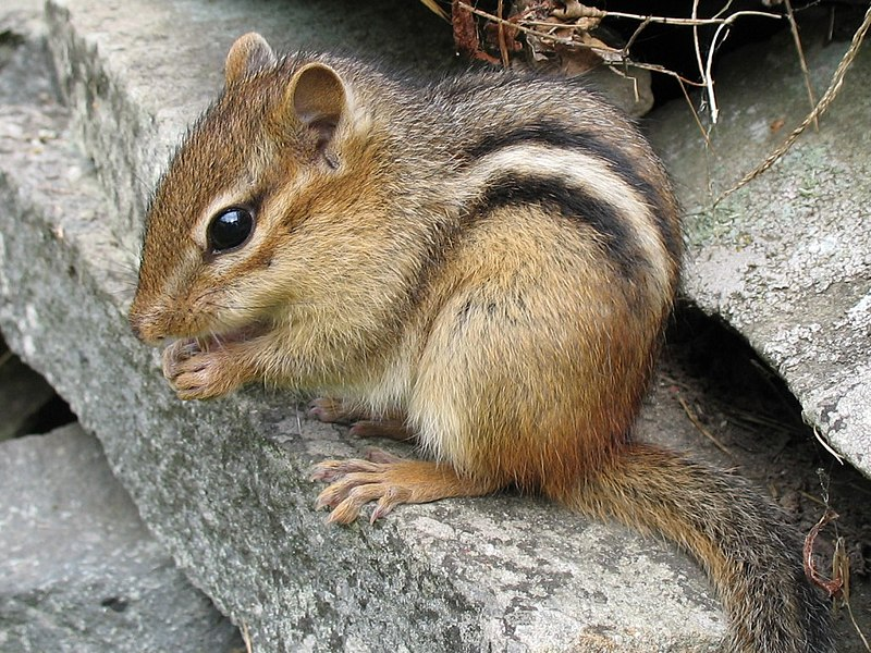 Crouching chipmunk