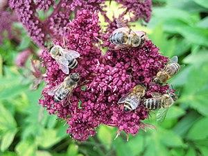 Deutsch: Sechs Bienen English: Six Bees