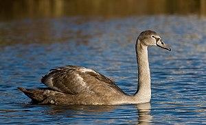 Juvenile Mute Swan (Cygnus olor) near Vanhanka...