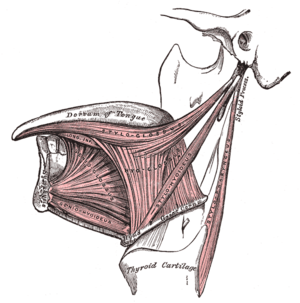 Extrinsic muscles of the tongue. Left side.