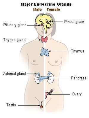 The major endocrine glands of the body. Pituit...