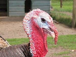 Kalkoen Turkey
