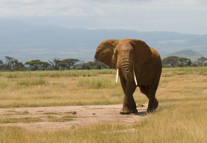 Loxodonta africana -Amboseli National Park, Kenya-8