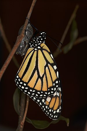 English: A monarch butterfly (Danaus plexippus...