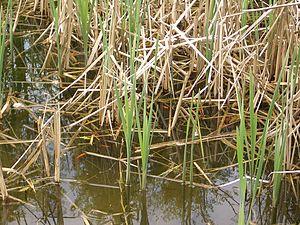 Sedikit merah ikan (lolos bayi koi?) Dalam kolam limpasan di lingkungan Dataran tinggi dari North Bend, Washington.