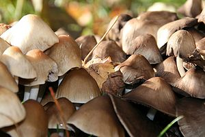 English: mushrooms Deutsch: Pilze