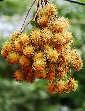 English: Rambutan - Rambutan in Indonesian or ...