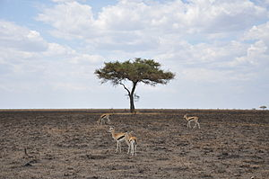 English: Thomson's gazelles in the central Ser...