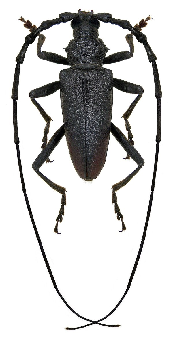 Усачи (жуки) — Википедия