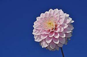English: Decorative Dahlia hybrid (Dahlia × ho...