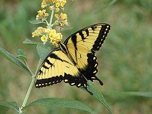 Eastern Swallowtail - Papilio glaucus - Taken ...