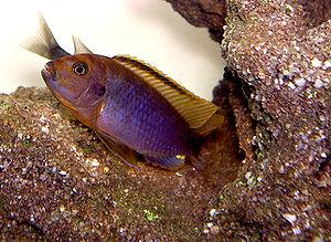 Rusty Cichlid,Iodotropheus sprengerae