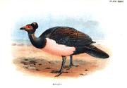 """Litograf Maleo Senkawor dari """"Lloyd's Natural History of Game Birds"""" karya by W. R. Ogilvie-Grant, diterbitkan tahun 1896."""