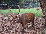 Seekor Rusa Bawean jantan dewasa di Kebun Binatang Ragunan, Jakarta