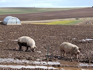 English: Pigs and Daffodils Pig farm and Daffo...