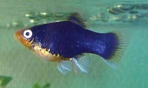 Dansk: Platy (Xiphophorus maculatus) er en tan...
