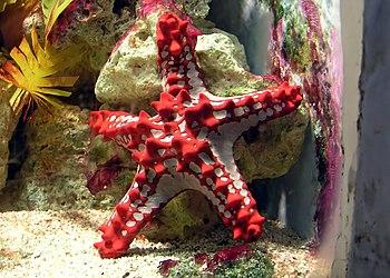 Red-knobbed Starfish Protoreaster linckii at B...