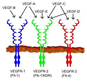 VEGF receptors and ligands