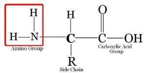 Medical PhysiologyBasic BiochemistryAmino Acids and