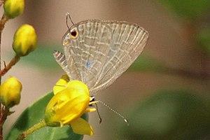 Dark Cerulean Butterfly (Jamides bochus) Famil...