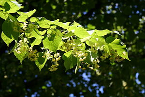 English: leaves and flowers of lime tree (tili...