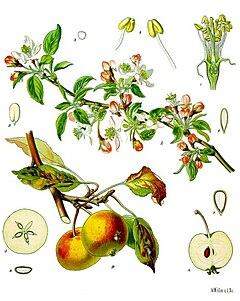 Pohon apel (Malus domestica)