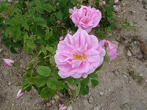 Rosa damascena 2