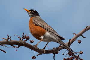 An american robin (Turdus migratorius), taken ...