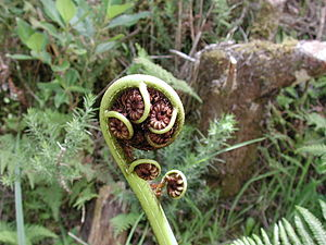 Crozier/fiddlehead of a mamaku tree fern in Ta...