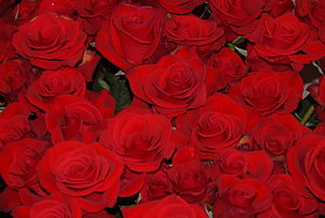 English: Red roses