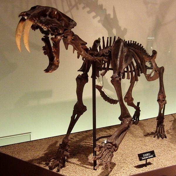 File:Smilodon Skeleton.jpg