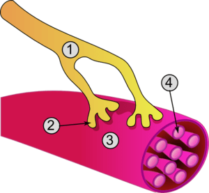 Global view of a neuromuscular junction: 1. Ax...