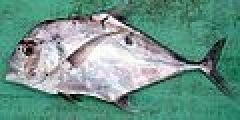 African pompano Solomons 2.jpg