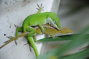 Green anole mating (Anolis carolinensis), Caro...