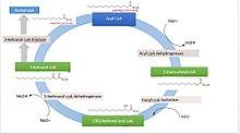 [14] Desglose de ácidos grasos por oxidación beta