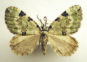 Colostygia pectinataria Coll. Mus. Zool. Oulu