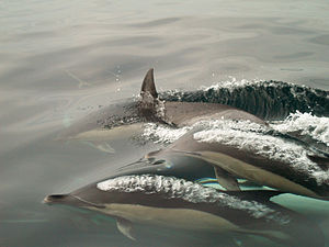 Delphinus sp. English: Common Dolphins exhalin...